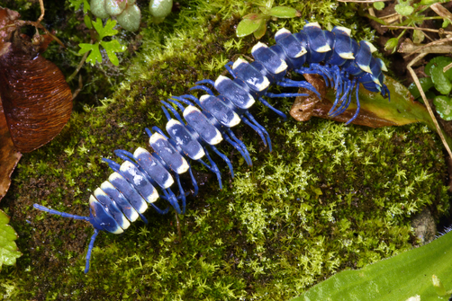 A blue millipedewith wite on the edges of its back