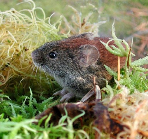 A close up picture of a southern red-backed vole. Its fur on its back is red.
